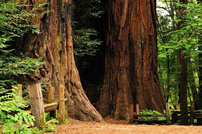 Sequoioideae trees at Henry Cowell Redwoods State Park