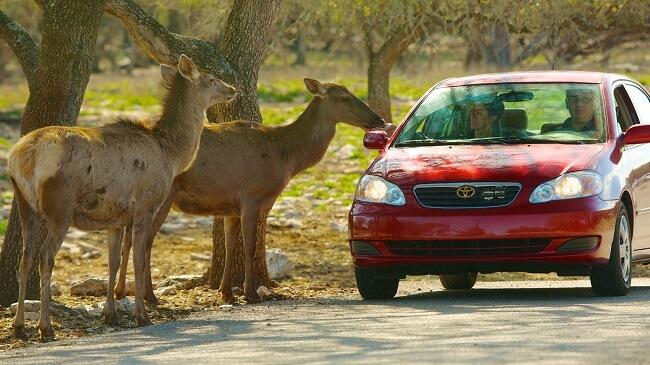 Animals at Natural Bridge Wildlife Ranch