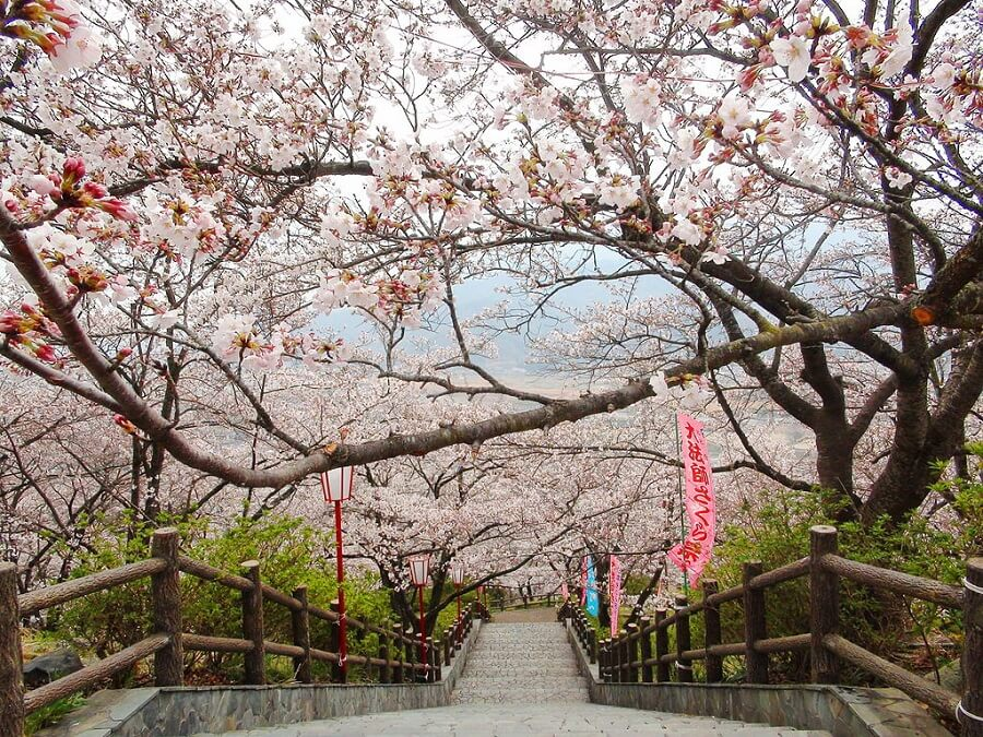 japan travel guide cherry blossoms