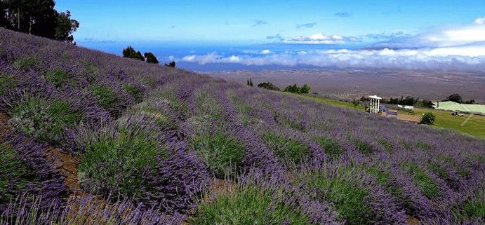 Ali'i Kula Lavender Farm in Maui, Hawaii